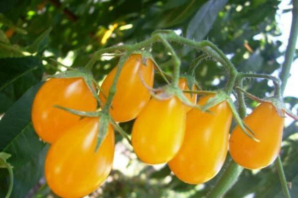 помидор Медовая капля