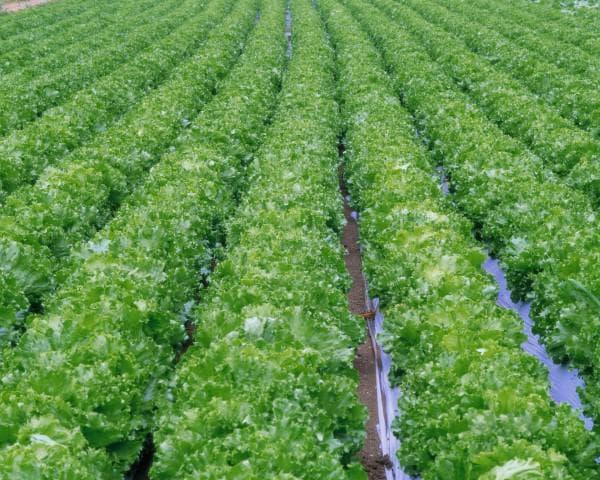 капуста брокколи выращивание