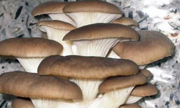 Как выращивать грибы вешенки в домашних условиях