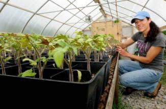 как вырастить рассаду помидор в парнике