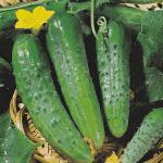 Огурец Маша f1: как выращивать,  описание сорта