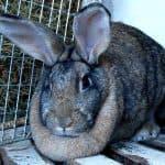 Чем привлекательна для фермеров порода кроликов Серый Великан?