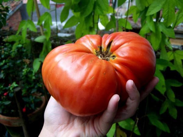 помидоры Бердский