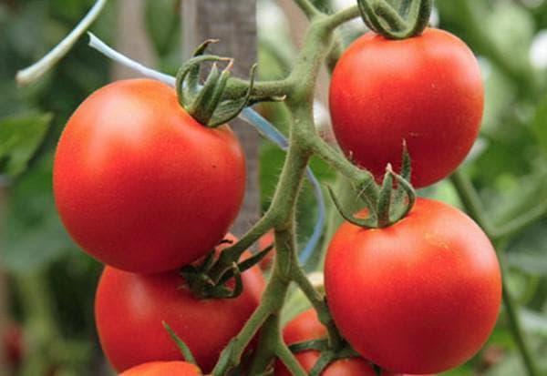помидор самара