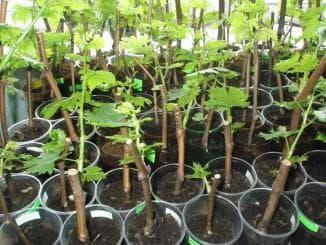 выращивание винограда из чубуков в домашних условиях