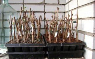 выращивание чубуков винограда зимой