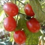какие томаты самые урожайные для открытого грунта