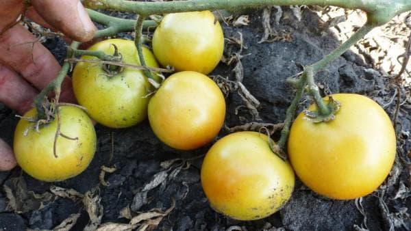 помидор Лонг кипер