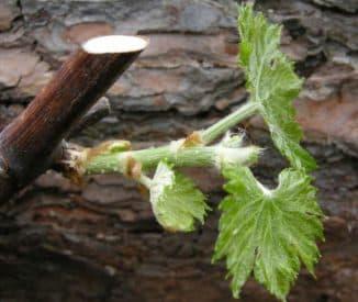 выращивание винограда через черенки зимой