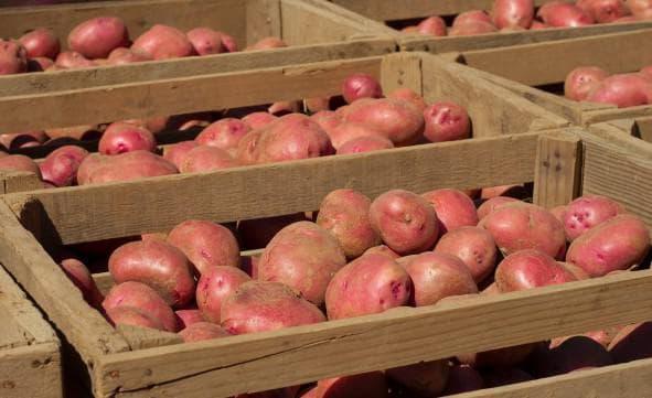 При какой температуре замерзает картофель в сарае