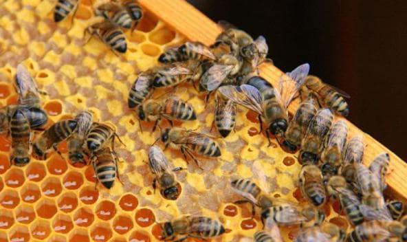 Пчеловодство для начинающих - видео и советы с чего начать