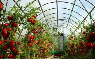 посадка помидор в теплице из поликарбоната