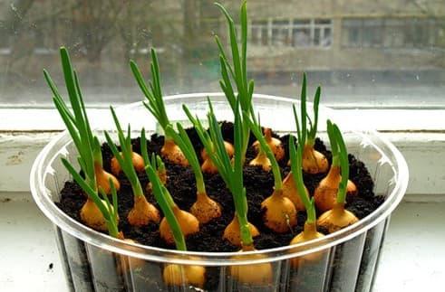 Как вырастить зеленый лук дома на подоконнике – в воде, земле