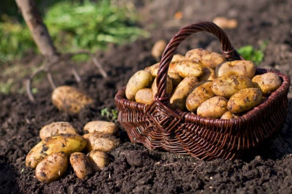 картофель и вредители