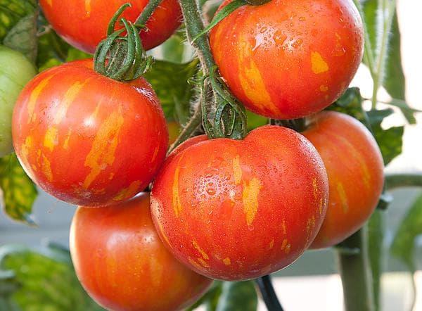 помидор сорта Бархатный сезон