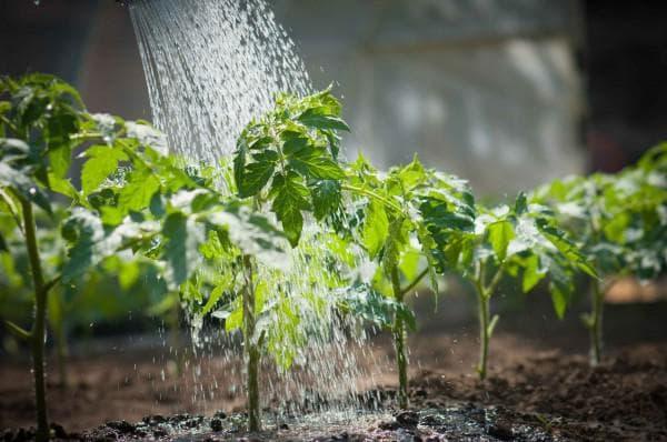 Что можно сажать и выращивать в теплице вместе с помидорами? Можно ли посадить рядом томат и землянику?