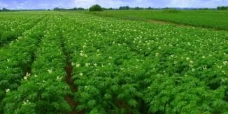 картошка и вредители