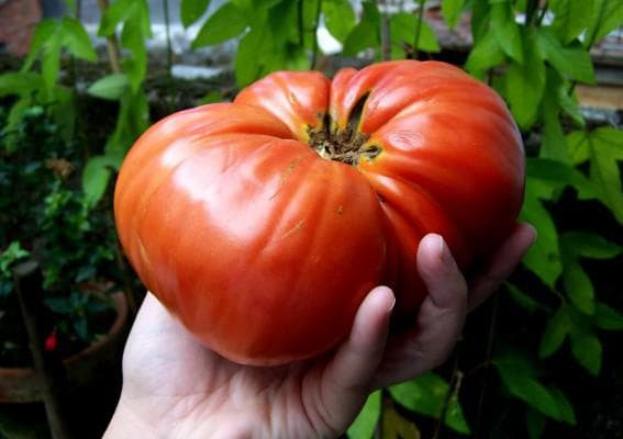 помидор сорта Крупный Бердский