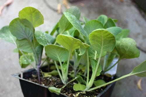 агротехника для брокколи