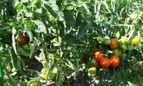 помидоры Сибирский скороспелый