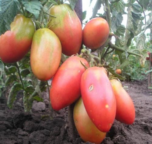 помидоры сорта Балерина