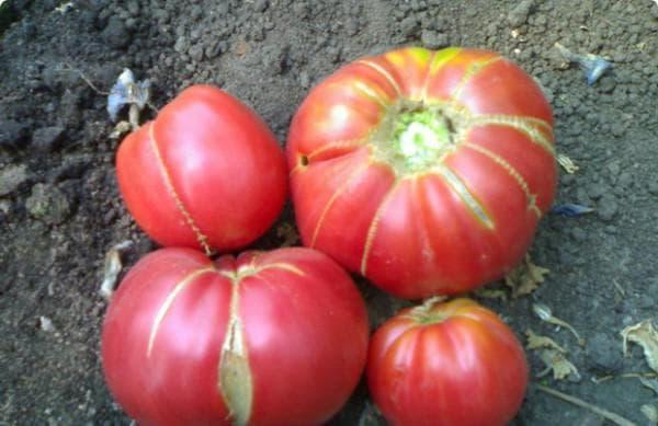 помидор сорта Бабушкин секрет