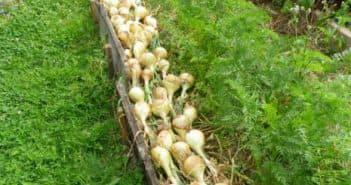 выращивание большого лука