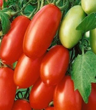 помидор сорта Варвара