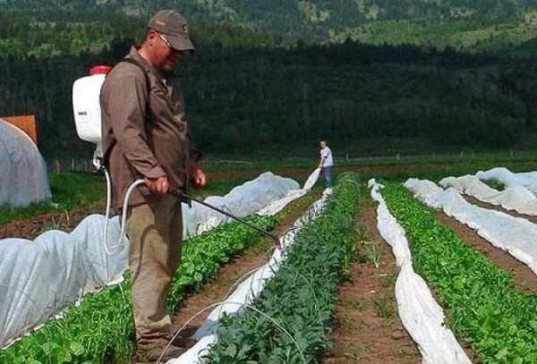 орошение фасоли в огороде