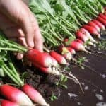 Возможно ли выращивание редиса в теплице зимой