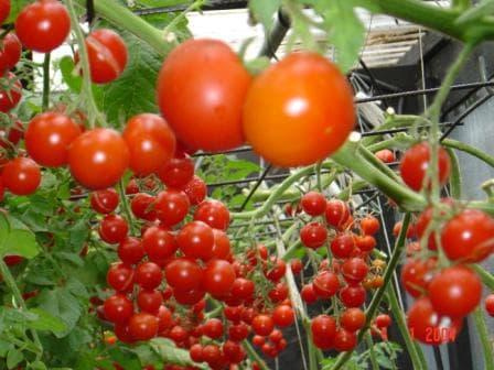 помидоры Богата хата