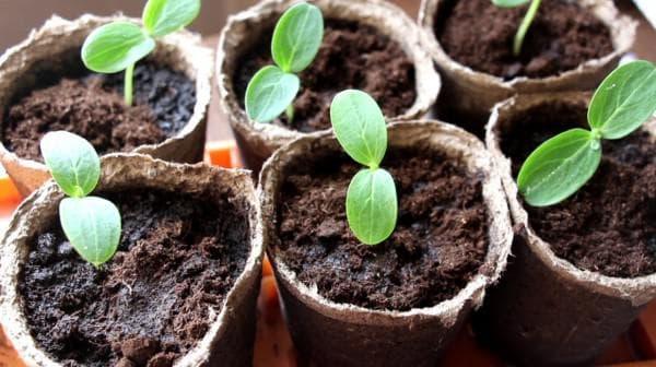 семена для огурцов