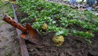 сельдерей на огороде