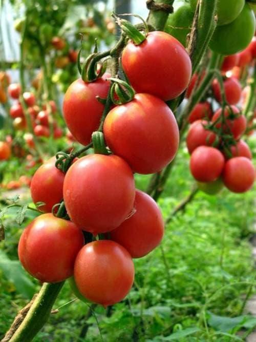 помидор сорта Розовый Де-Барао