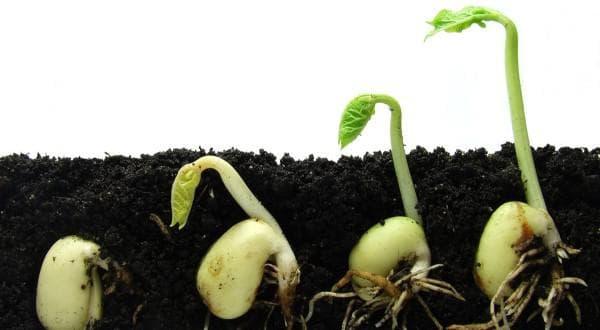 посадка растений горошка в землю