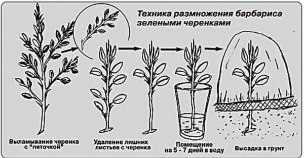 вегетативное размножение барбарис