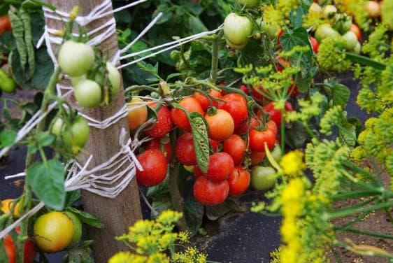 томат дубок