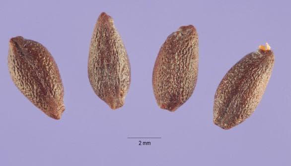 семенное размножение барбарис