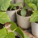 Особенности выращивания рассады огурцов в домашних условиях
