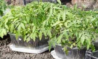 как вырастить рассаду помидор без пикировки