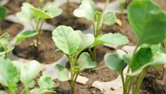 выращивание брокколи +в открытом грунте