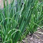 выращивание лука в теплице зимой