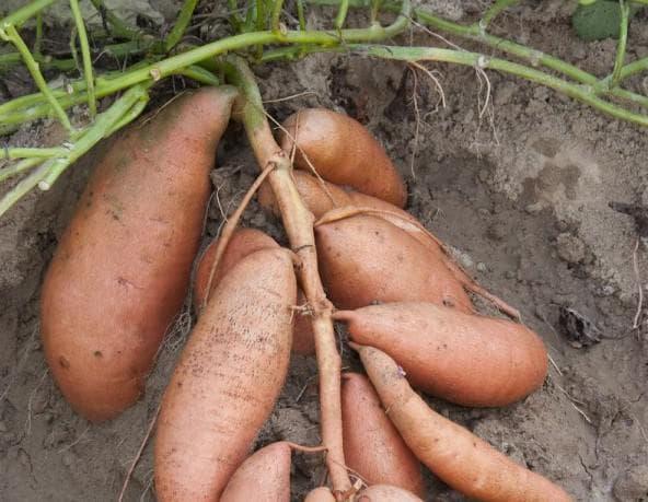 Батат – выращивание в средней полосе и более холодных регионах