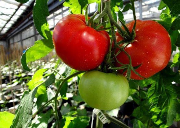 помидор бобкат
