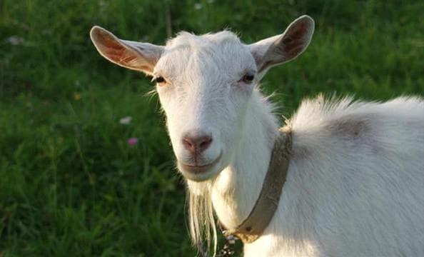 зааненские козы