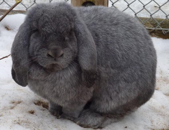 вислоухий баран кролик