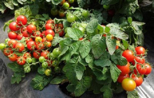 Лучшие низкорослые сорта помидоров черри для открытого грунта