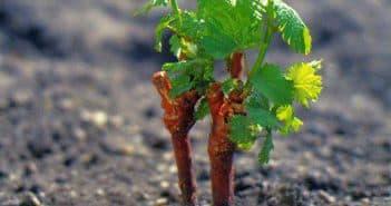 выращивание винограда из чубуков