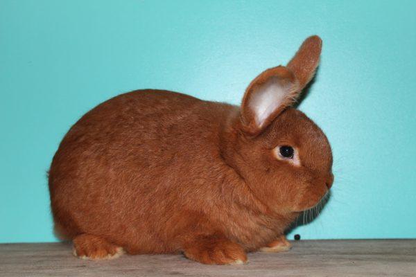 Новозеландский красный кролик — характеристика и описание породы НЗК