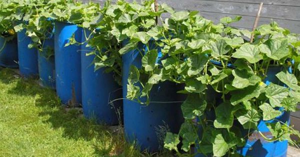 выращивание огурцов в бочках